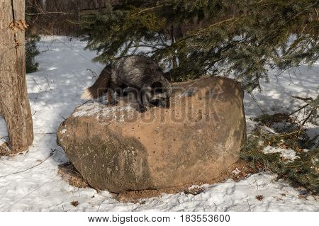 Silver Fox (Vulpes vulpes) Sniffs About Rock - captive animal