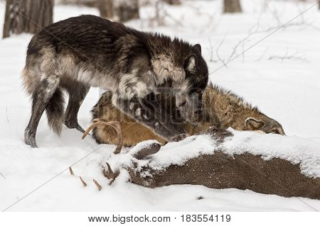 Black Phase Grey Wolf (Canis lupus) Tears Hide of Deer Carcass - captive animals