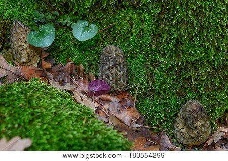 valuable and rare edible fungi & edible mushrooms
