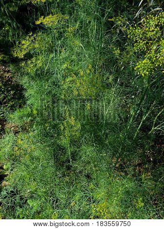 Close Up Background With Yellow Flowers On Flowering Dill Herb In Garden
