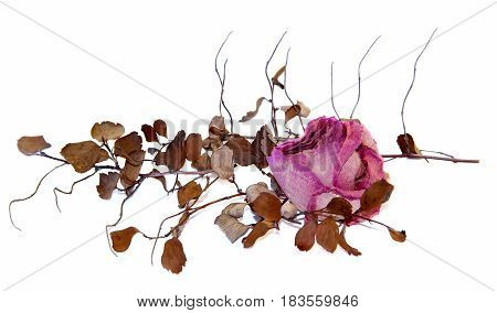 Dry Delicate Rose Flowers And Leaves  Isolated On White