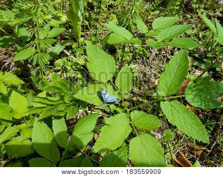 Little Blue Butterfly In The Forest On A Leaf Of Drupe