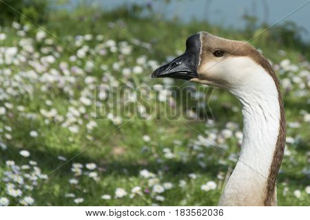 Image of head goose on nature background