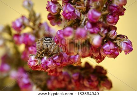 Jumping Spider (family Salticidae) hidden and crouching in the flowers
