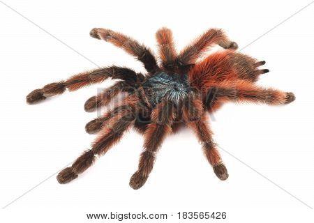 Tarantula Antilles Pinktoe (Avicularia versicolor) spider female