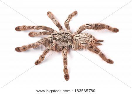 Tarantula spider female (Heteroscodra maculata) on a white background
