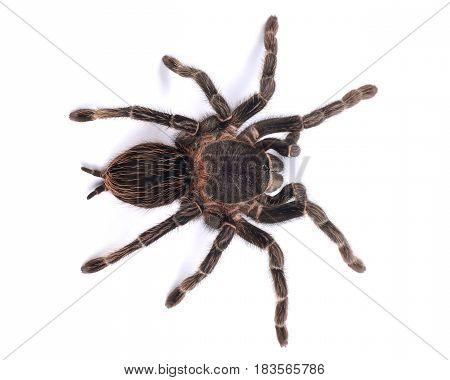 Tarantula spider female (Lasiodora parahybana) on a white background