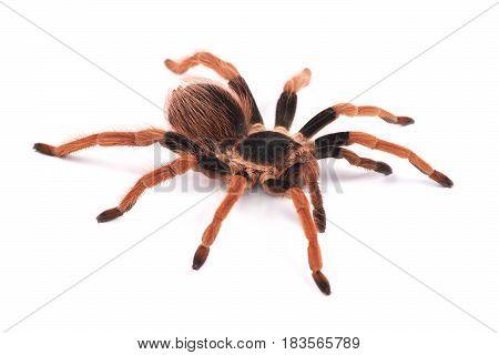 Tarantula spider female (Megaphobema robustum) on a white background