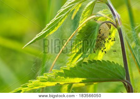 Spider cocoon with small spiders veins made between the leaves of nettle