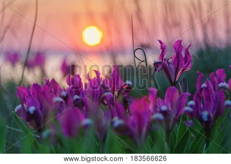 Wild irises against the sunset with pond and sun.