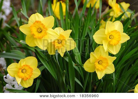 Bright daffodils at the arrival of spring season