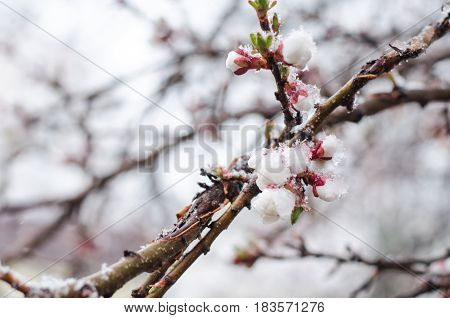 Tender Apricot Blossom Flowers Covered With Sudden April Snow Cyclone In Ukraine, Shallow Depth Of F