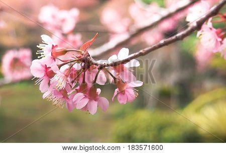 Giant tiger flower in the garden Soft focus Wild Cherry flower (Prunus cerasoides)Giant tiger flower in Thailand.