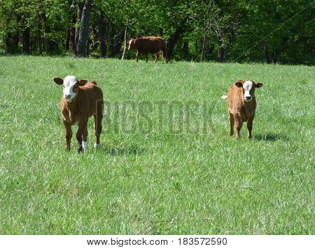 Two calves enjoying the green grass and the nice spring day.