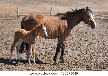 Cheerful young foal with its mother on the meadow in spring