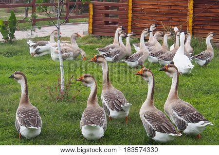 Domestic geese graze on traditional village goose farm outdoors.