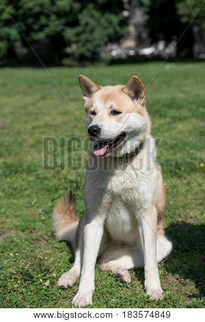 Close-up of akita inu dog.selective focus on the dog