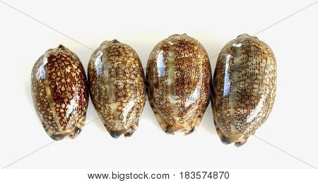 Mauritia arabica common name the Arabian cowry is a species of cowry a sea snail a marine gastropod mollusk in the family Cypraeidae