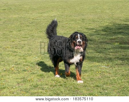 Bernese mountain dog portrait in outdoors.Selective focus