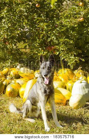 Guard dog in garden against backdrop of autumn harvest pumpkins. Photo in retro color