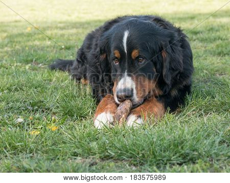 Bernese mountain dog lying down outdoors in summer