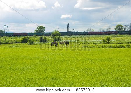 Rural landscape with herd of horses grazing in summer field. Scene of wildlife on pasture under cloudy blue sky. Wild horses in meadow in distance