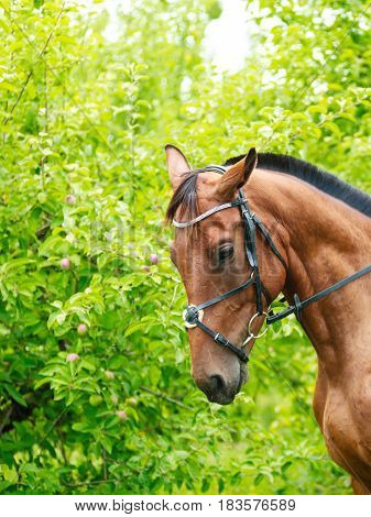 Brown horse stallion animal in summer green countryside.