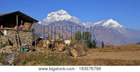 Rural scene on the way from Tatopani to Gorepani Nepal. Dhaulagiri range.