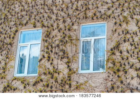 two Windows in the Wall which is Fully Covered with Ivy