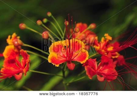 Beautiful tropical flower from the subcontinent of India