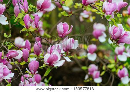 magnolia tree blossom flowering magnolia tranquil tranquility up vibrant vivid white