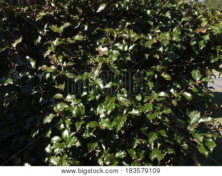 This holly bush still sports bright green Christmas foliage in the spring.