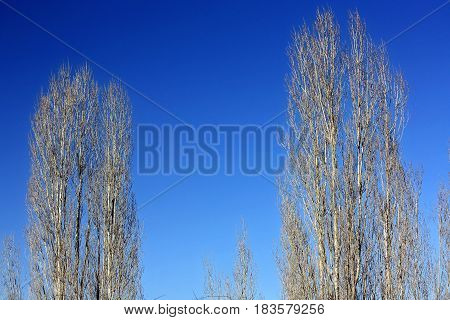 Two barren tree with blue sky at winter