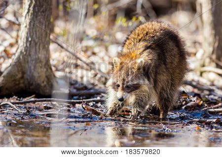 A reddish fur variety of Raccoon searching for large earth worms in a swamped forested area in Quebec, Canada.
