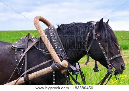 Working horse in harness, eating grass in a meadow
