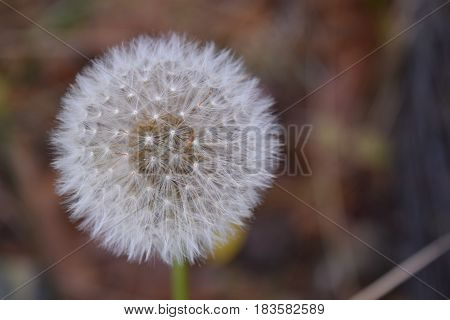 Dandelion puff as first sign of Spring.