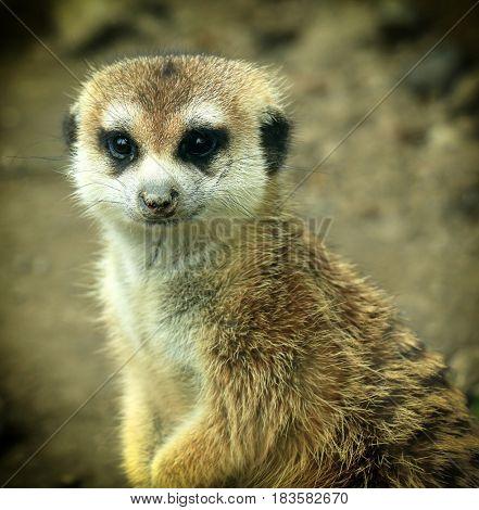 Single Meerkat Looking