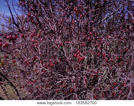 These branches had delicate red leaves coming and elliptical red rose hips.