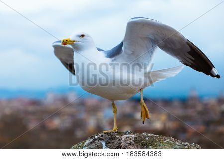 A seagull on the break of start flying. Picture taken in Rome, Italy at Castel Sant'Angelo
