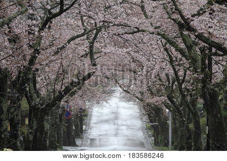 Tunnel Of Cherry Blossoms In Izu Highland, Shizuoka, Japan (rainy)