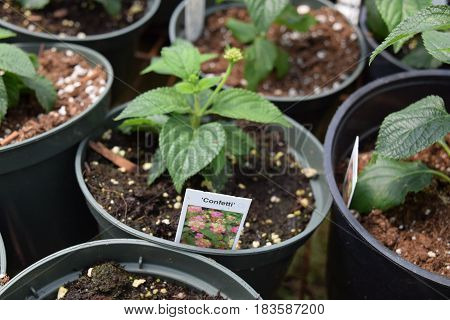 Potted flower plant seedlings in a row.