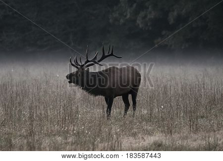 Bull Elk Bugles in Morning Fog Muted Colors
