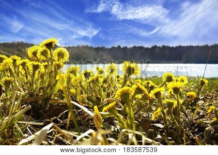 The First Spring Flowers Coltsfoot (tussilago Farfara), Against The Backdrop Of A Forest Lake, A Bea