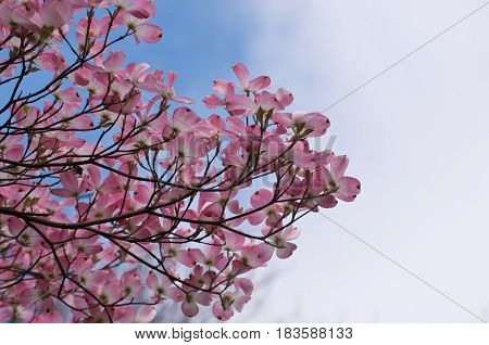 Pink dogwood tree with a blue and white sky