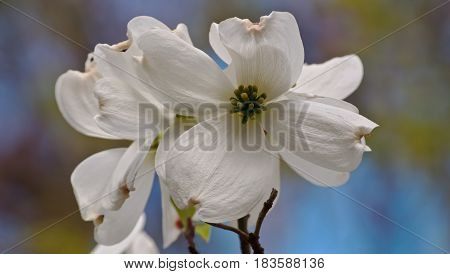 Several pretty dogwood flowers in the spring
