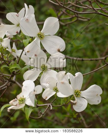 A grouping of beautiful white dogwood flowers in the spring