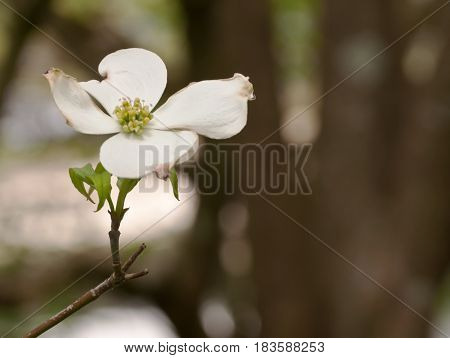 A single white dogwood flower with a blurred background