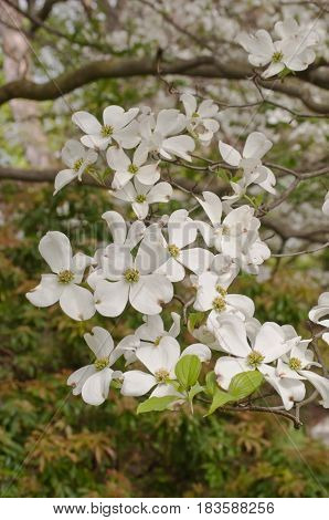 White dogwood flowers in the spring sun