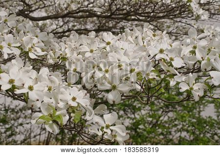 A large grouping of dogwood flowers in the spring