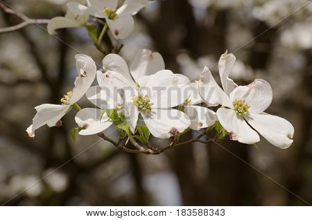 Several dogwood flowers in the sun with a pretty blurred backgrould